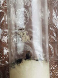 L. niger po zimowaniu